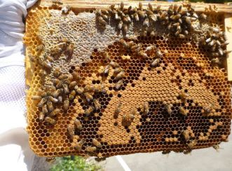 Honeycomb from the Warré beehive