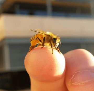 Worker bee sitting on a hand